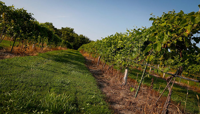 A Dutch-angled view of Mac's Creek's lauded vineyard